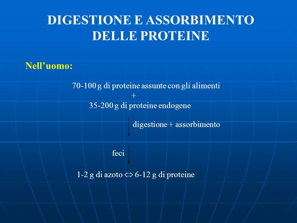 DIGESTIONE E ASSORBIMENTO DELLE PROTEINE Nelluomo: 70-100 g di proteine assunte con gli alimenti + 35-200 g di proteine endogene 1-2 g di azoto 6-12 g