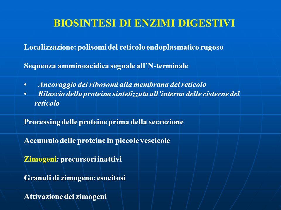 BIOSINTESI DI ENZIMI DIGESTIVI Localizzazione: polisomi del reticolo endoplasmatico rugoso Sequenza amminoacidica segnale allN-terminale Ancoraggio de