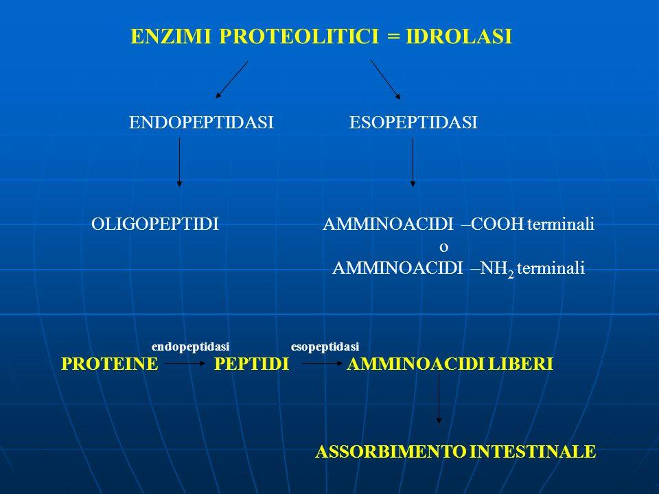 ENZIMI PROTEOLITICI = IDROLASI ENDOPEPTIDASI ESOPEPTIDASI OLIGOPEPTIDIAMMINOACIDI –COOH terminali o AMMINOACIDI –NH 2 terminali PROTEINEPEPTIDI AMMINO