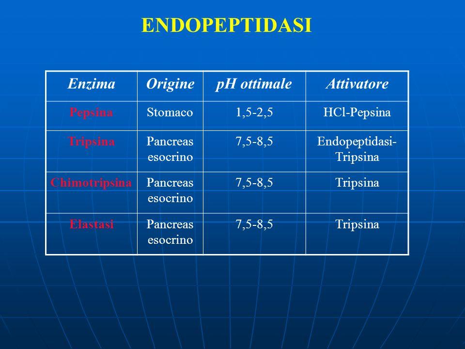 ENDOPEPTIDASI EnzimaOriginepH ottimaleAttivatore PepsinaStomaco1,5-2,5HCl-Pepsina TripsinaPancreas esocrino 7,5-8,5Endopeptidasi- Tripsina Chimotripsi