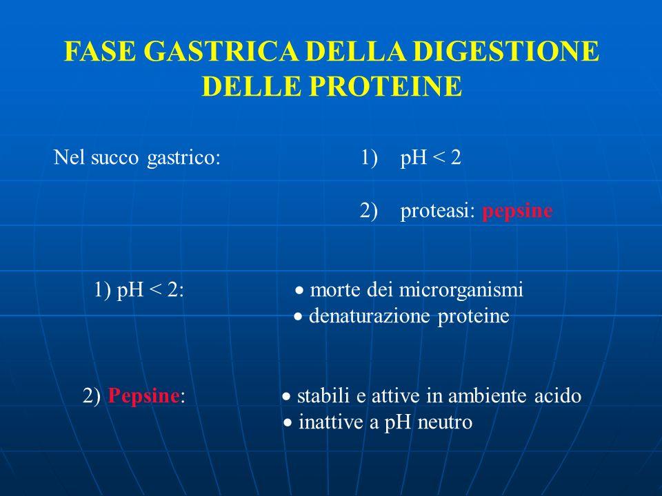 FASE GASTRICA DELLA DIGESTIONE DELLE PROTEINE Nel succo gastrico: 1) pH < 2 2) proteasi: pepsine 1) pH < 2: morte dei microrganismi denaturazione prot