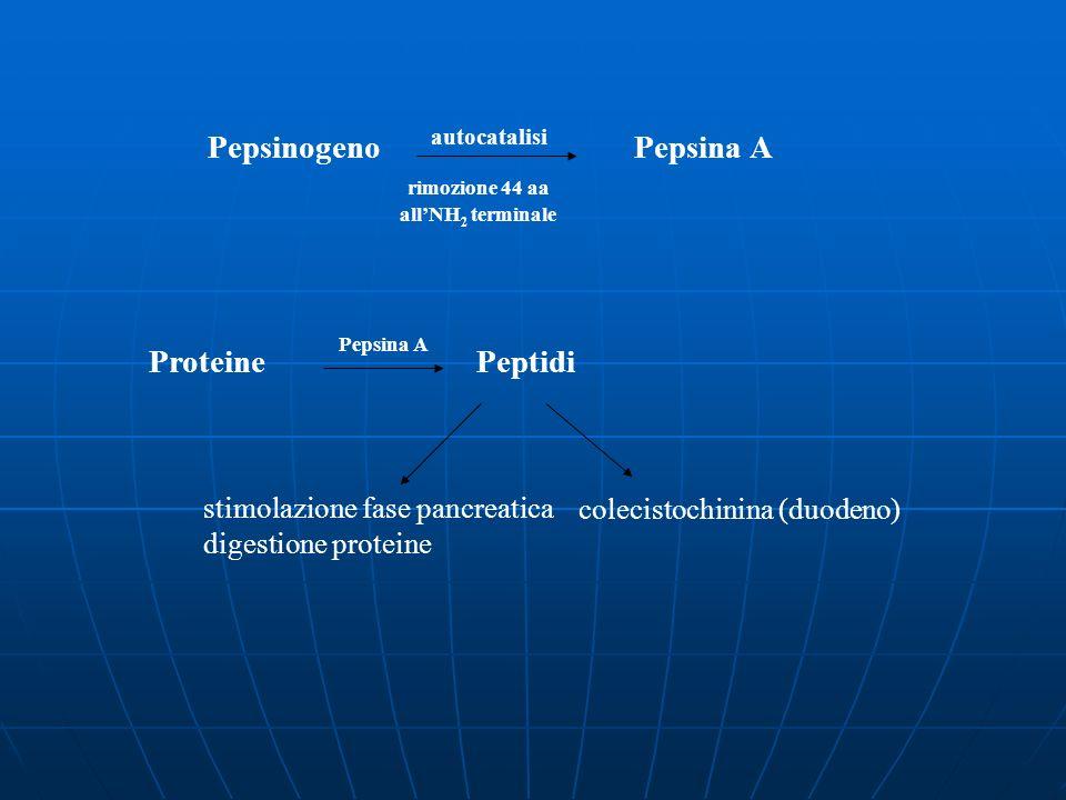 autocatalisi Pepsinogeno Pepsina A rimozione 44 aa allNH 2 terminale Proteine Peptidi colecistochinina (duodeno) Pepsina A stimolazione fase pancreati