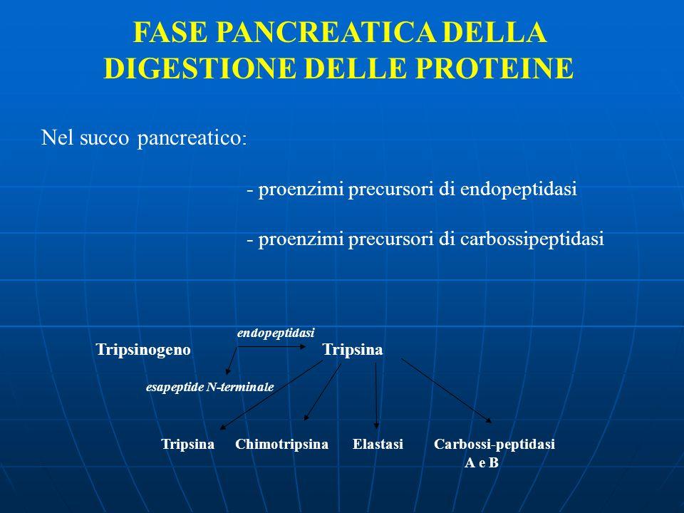 FASE PANCREATICA DELLA DIGESTIONE DELLE PROTEINE Nel succo pancreatico : - proenzimi precursori di endopeptidasi - proenzimi precursori di carbossipep