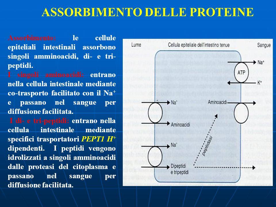 Assorbimento: le cellule epiteliali intestinali assorbono singoli amminoacidi, di- e tri- peptidi. I singoli aminoacidi: entrano nella cellula intesti