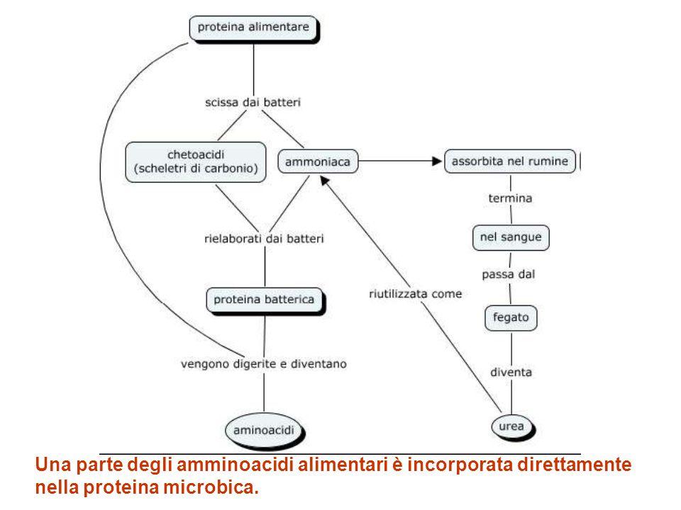 Una parte degli amminoacidi alimentari è incorporata direttamente nella proteina microbica.