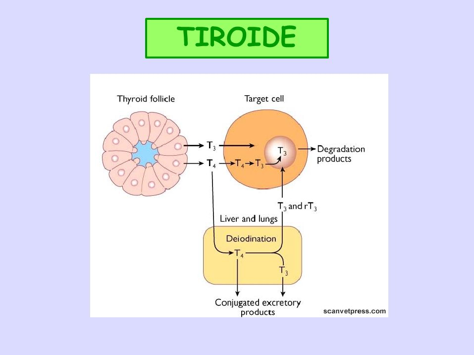 ORMONI TIROIDEI: DEIODAZIONE T4 5-deiodasi di tipo I: fegato, rene, tiroide T3 in condizioni normali In certe condizioni (animali neonati, digiuno, carenze proteiche, febbre, mt.