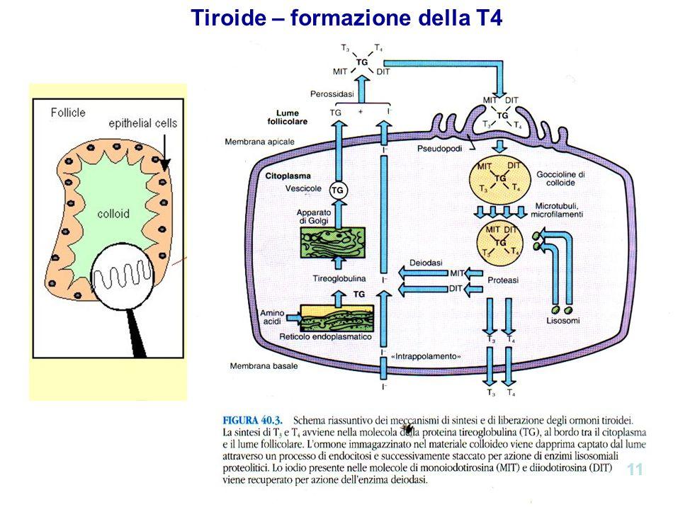 Tiroide – formazione della T4 11