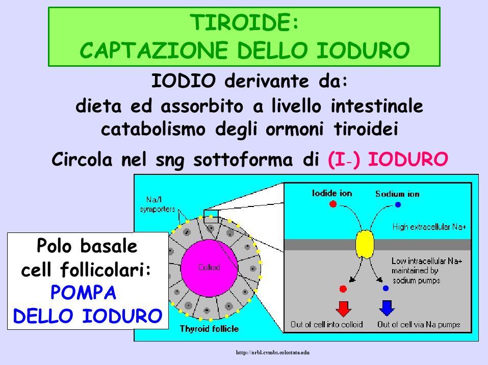 TIROIDE: CAPTAZIONE DELLO IODURO IODIO derivante da: dieta ed assorbito a livello intestinale catabolismo degli ormoni tiroidei Circola nel sng sottof