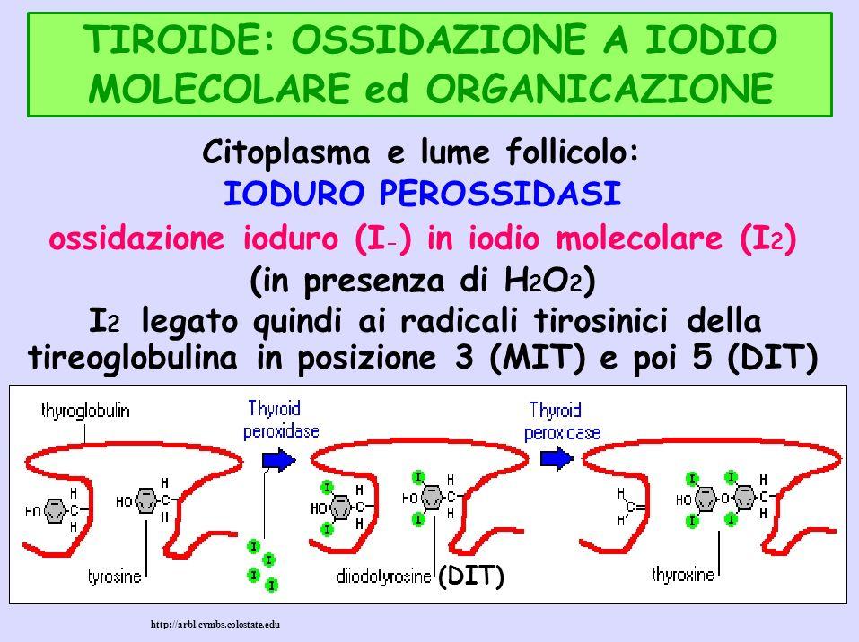 TIROIDE: OSSIDAZIONE A IODIO MOLECOLARE ed ORGANICAZIONE Citoplasma e lume follicolo: IODURO PEROSSIDASI ossidazione ioduro (I - ) in iodio molecolare