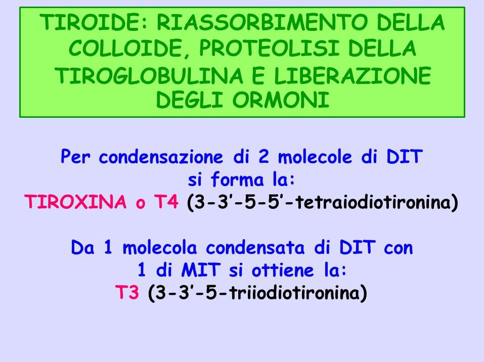 TIROIDE: RIASSORBIMENTO DELLA COLLOIDE, PROTEOLISI DELLA TIROGLOBULINA E LIBERAZIONE DEGLI ORMONI Per condensazione di 2 molecole di DIT si forma la: