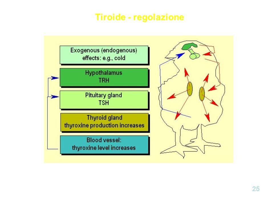 Tiroide - regolazione 25