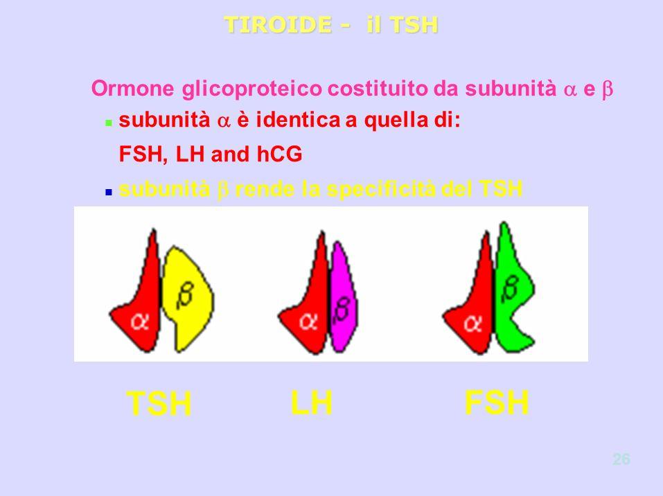 Ormone glicoproteico costituito da subunità e n subunità è identica a quella di: FSH, LH and hCG n subunità rende la specificità del TSH TIROIDE - il