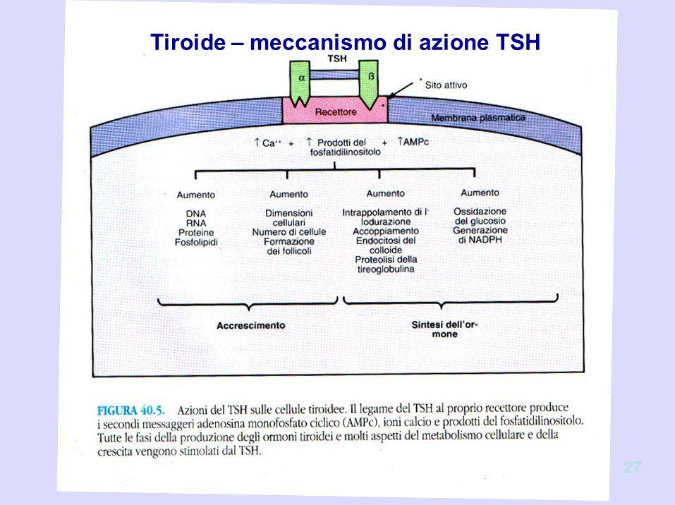 Tiroide – meccanismo di azione TSH 27