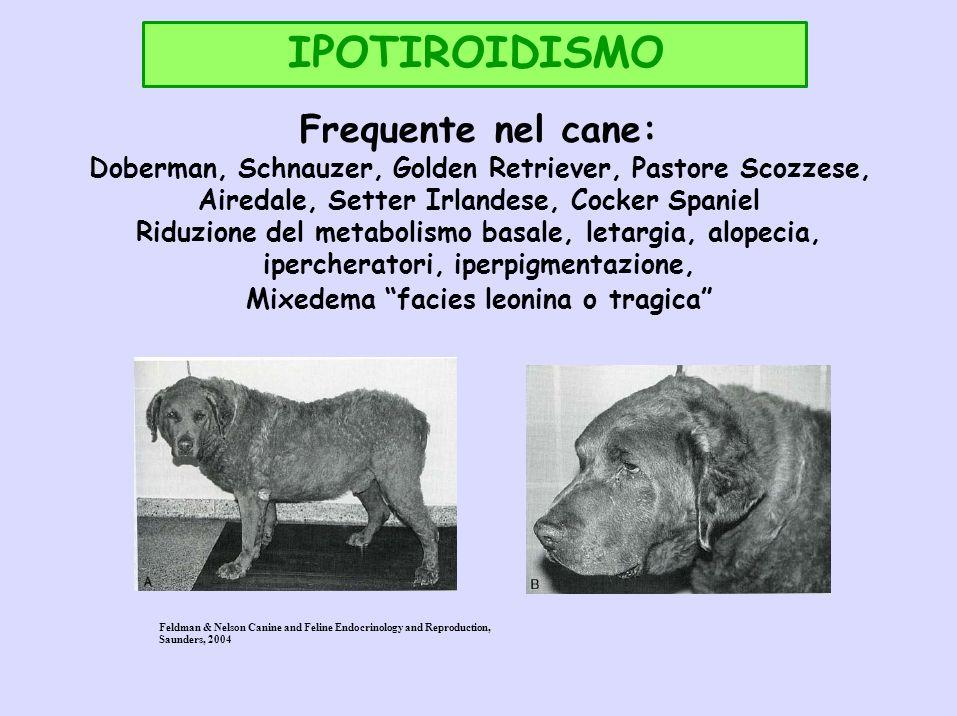 IPOTIROIDISMO Frequente nel cane: Doberman, Schnauzer, Golden Retriever, Pastore Scozzese, Airedale, Setter Irlandese, Cocker Spaniel Riduzione del me