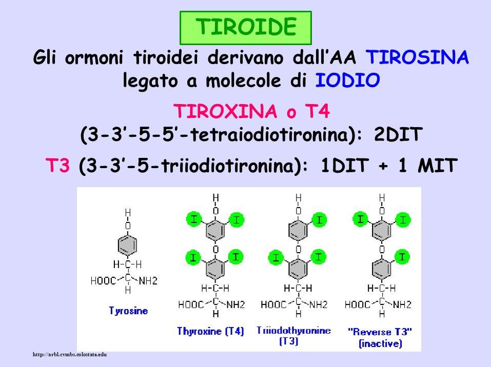 TIROIDE Gli ormoni tiroidei derivano dallAA TIROSINA legato a molecole di IODIO TIROXINA o T4 (3-3-5-5-tetraiodiotironina): 2DIT T3 (3-3-5-triiodiotir