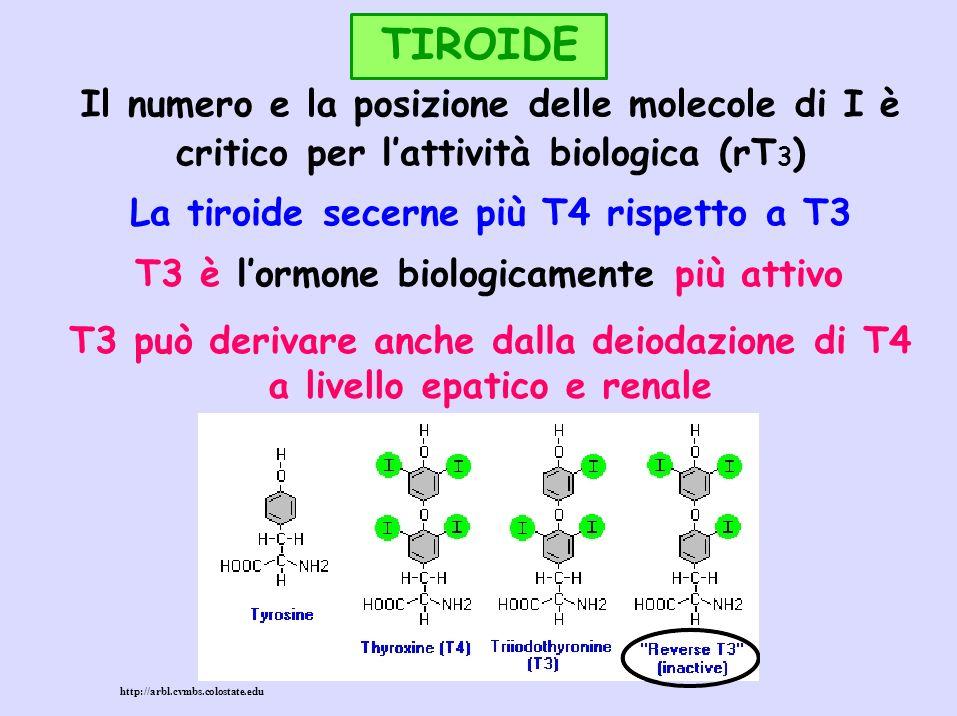 TIROIDE Nel torrente circolatorio T3 e T4 sono in gran parte legati a proteine plasmatiche (globuline, albumine, prealbumine, lipoproteine): poco idrosolubili TBG: Thyroxine Binding Globulin TBPA: Thyroxine Binding PreAlbumin (transtiretina) Gli ormoni legati alle proteine sono INATTIVI: riserva circolante prontamente utilizzabile Emivita: T4 5-7 gg, T3 1-2 gg (legame meno forte con le proteine plasmatiche)
