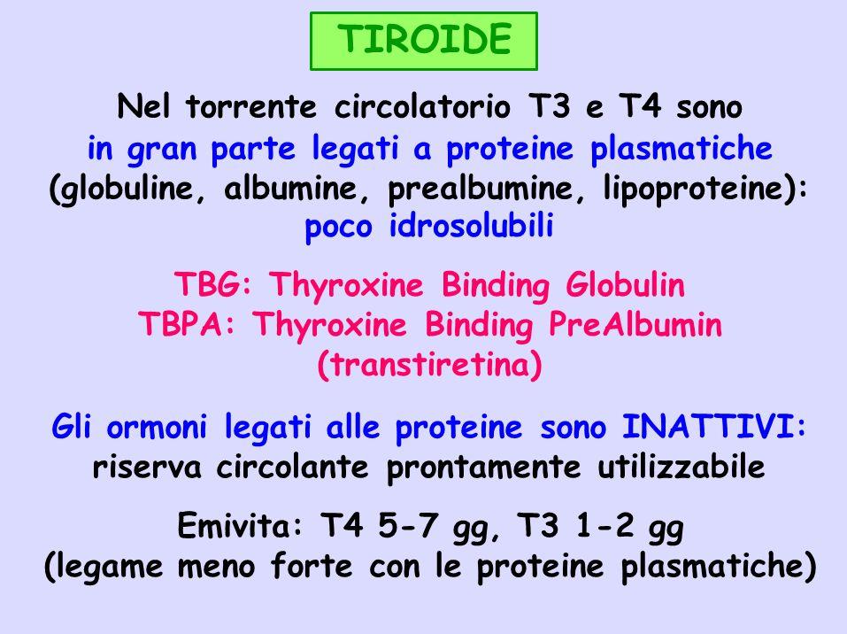 TIROIDE Nel torrente circolatorio T3 e T4 sono in gran parte legati a proteine plasmatiche (globuline, albumine, prealbumine, lipoproteine): poco idro