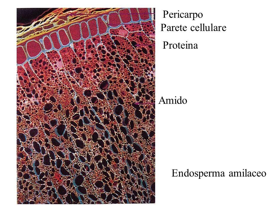 Endosperma amilaceo Pericarpo Parete cellulare Proteina Amido