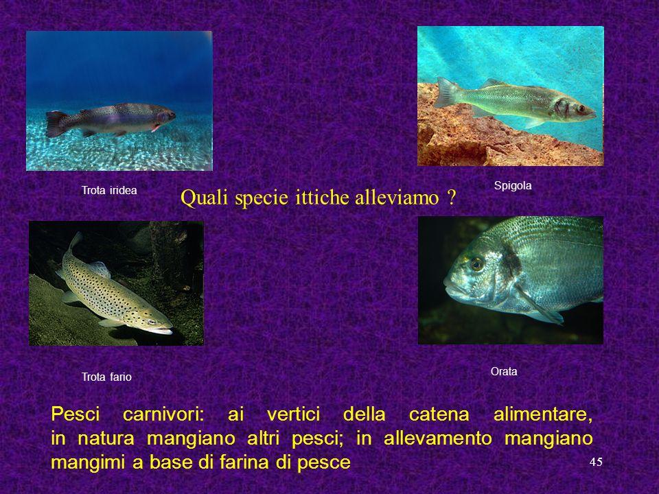 45 Trota iridea Spigola Trota fario Orata Pesci carnivori: ai vertici della catena alimentare, in natura mangiano altri pesci; in allevamento mangiano