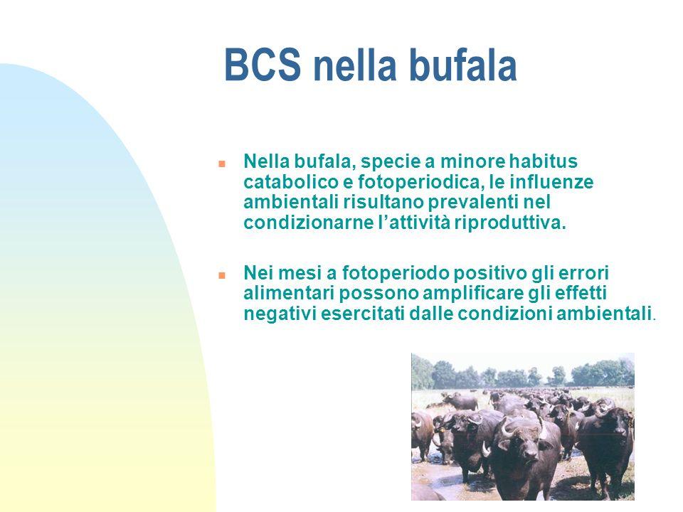BCS nella bufala Nella bufala, specie a minore habitus catabolico e fotoperiodica, le influenze ambientali risultano prevalenti nel condizionarne lattività riproduttiva.
