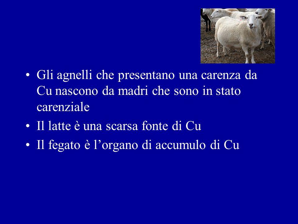 Gli agnelli che presentano una carenza da Cu nascono da madri che sono in stato carenziale Il latte è una scarsa fonte di Cu Il fegato è lorgano di ac