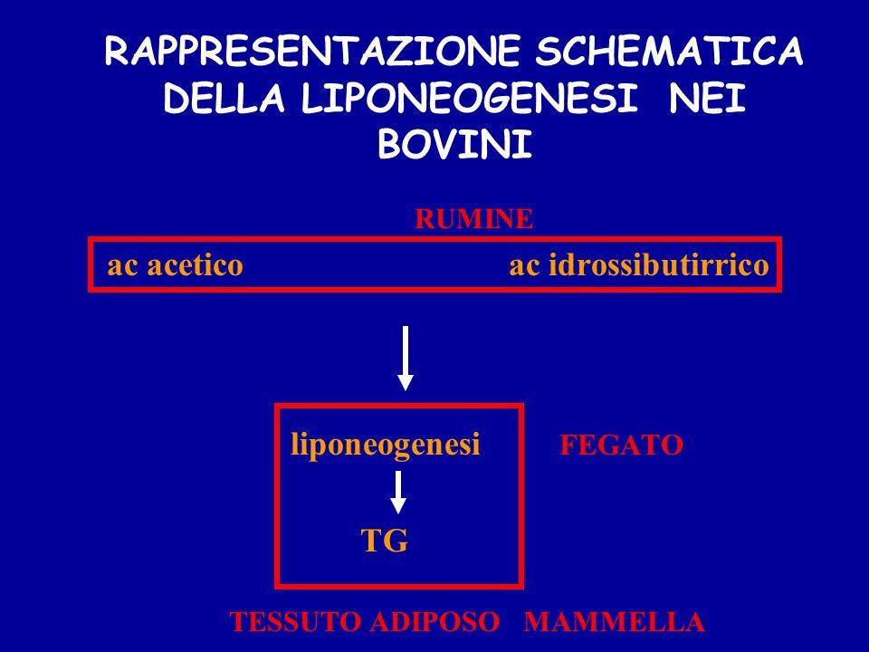 RAPPRESENTAZIONE SCHEMATICA DELLA LIPONEOGENESI NEI BOVINI RUMINE ac acetico ac idrossibutirrico liponeogenesi FEGATO TG TESSUTO ADIPOSO MAMMELLA