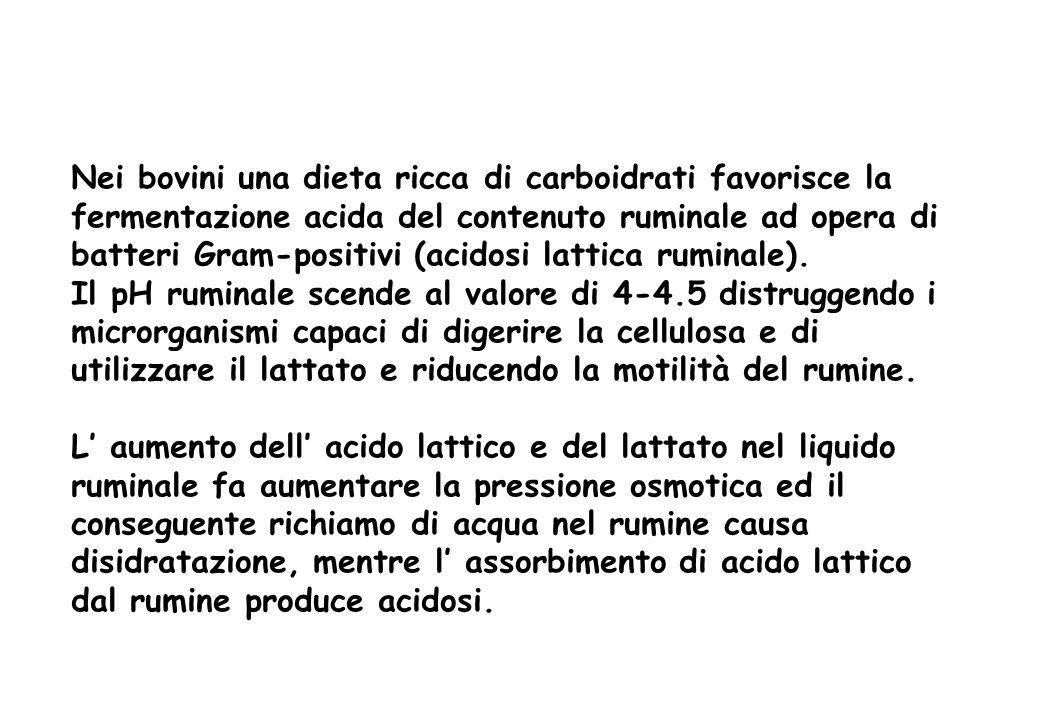 Nei bovini una dieta ricca di carboidrati favorisce la fermentazione acida del contenuto ruminale ad opera di batteri Gram-positivi (acidosi lattica r