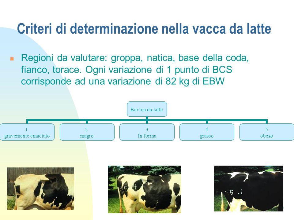 10 Criteri di determinazione nella vacca da latte Regioni da valutare: groppa, natica, base della coda, fianco, torace.