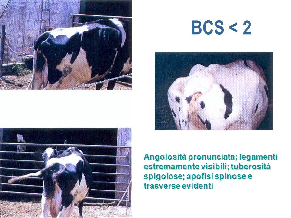 BCS < 2 Angolosità pronunciata; legamenti estremamente visibili; tuberosità spigolose; apofisi spinose e trasverse evidenti