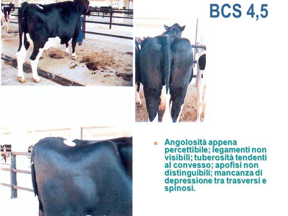 BCS 4,5 Angolosità appena percettibile; legamenti non visibili; tuberosità tendenti al convesso; apofisi non distinguibili; mancanza di depressione tra trasversi e spinosi.