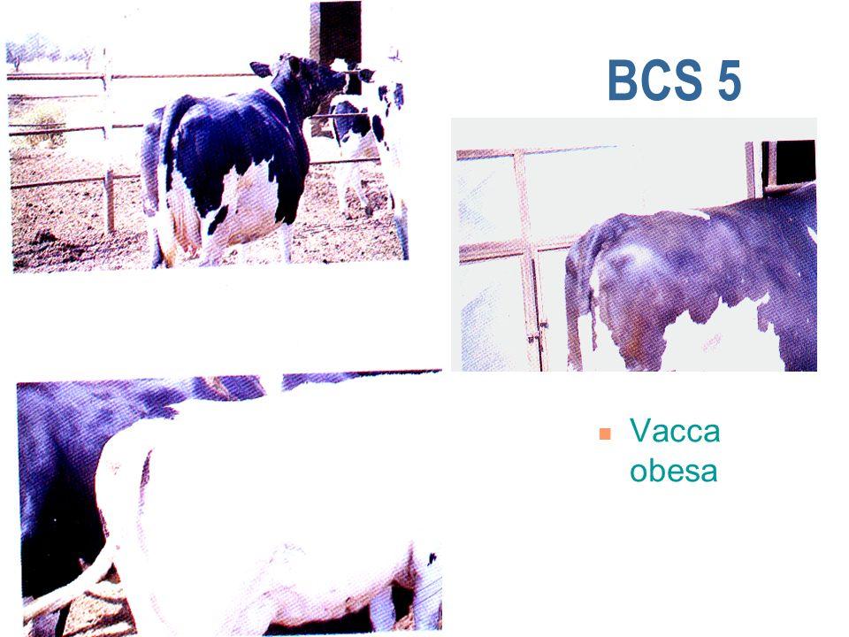 BCS 5 Vacca obesa