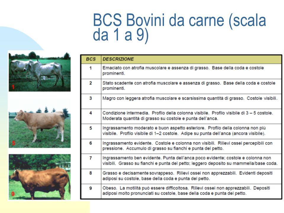 BCS Bovini da carne (scala da 1 a 9)