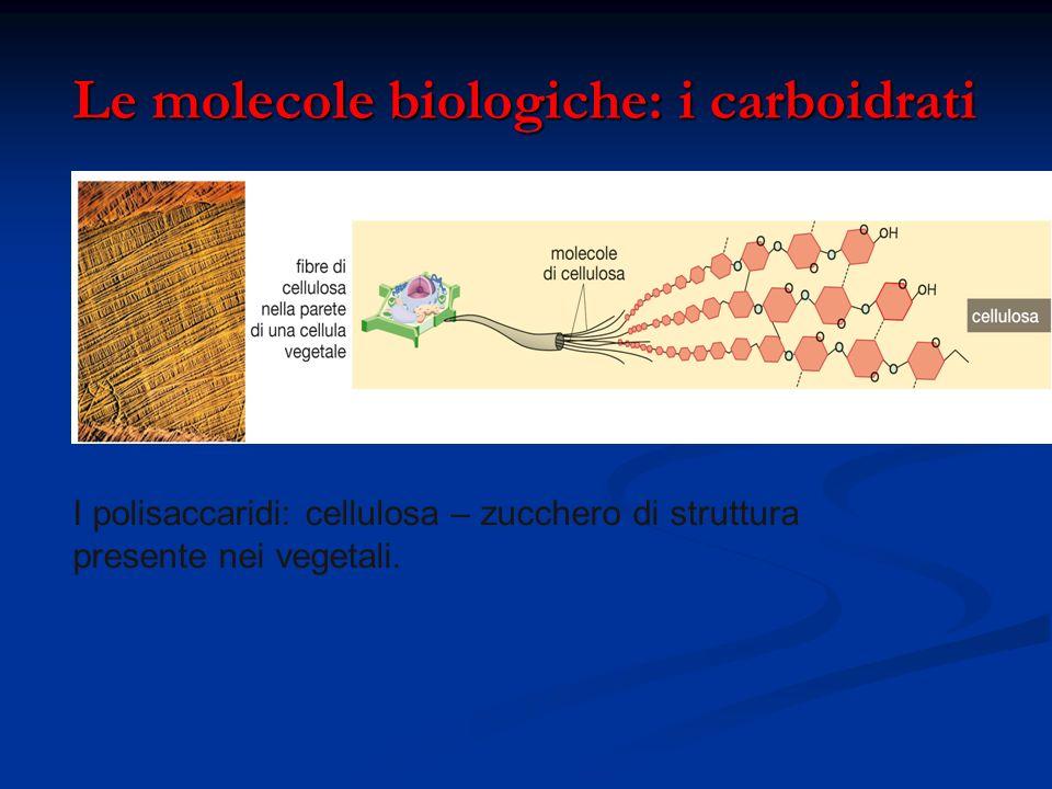 Le molecole biologiche: i carboidrati Le molecole biologiche: i carboidrati I polisaccaridi: cellulosa – zucchero di struttura presente nei vegetali.