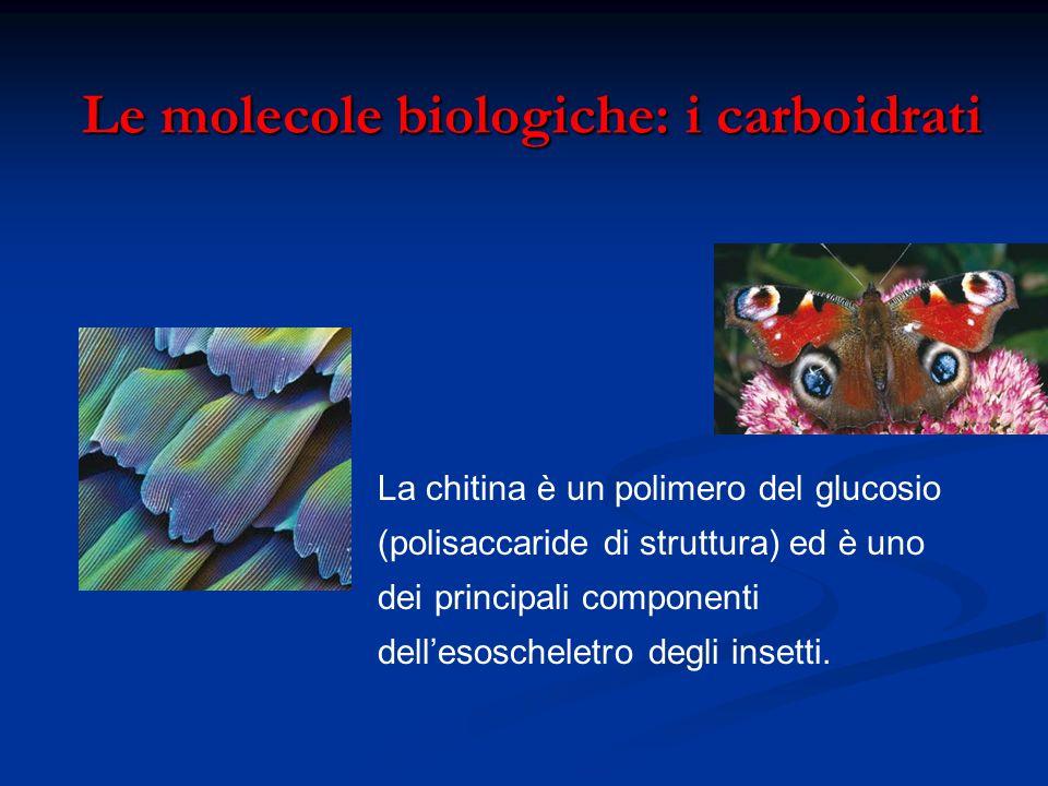 Le molecole biologiche: i carboidrati Le molecole biologiche: i carboidrati La chitina è un polimero del glucosio (polisaccaride di struttura) ed è un