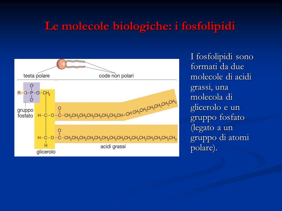 Le molecole biologiche: i fosfolipidi Le molecole biologiche: i fosfolipidi I fosfolipidi sono formati da due molecole di acidi grassi, una molecola d