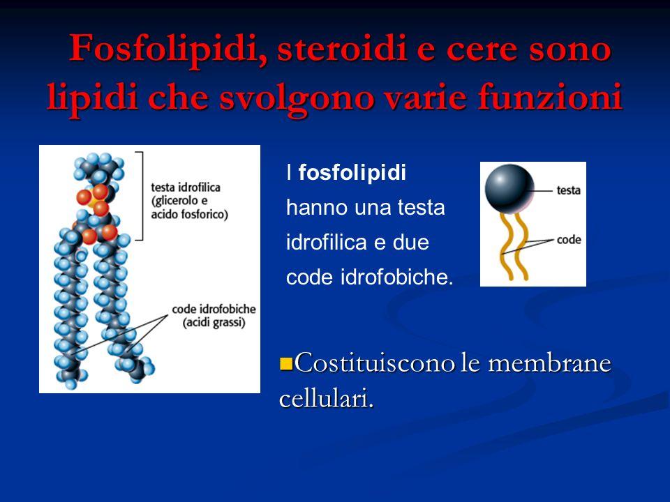 Fosfolipidi, steroidi e cere sono lipidi che svolgono varie funzioni Fosfolipidi, steroidi e cere sono lipidi che svolgono varie funzioni I fosfolipid