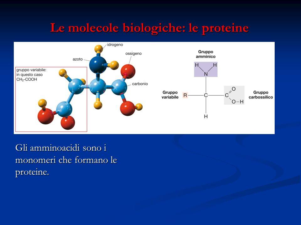 Le molecole biologiche: le proteine Le molecole biologiche: le proteine Gli amminoacidi sono i monomeri che formano le proteine.