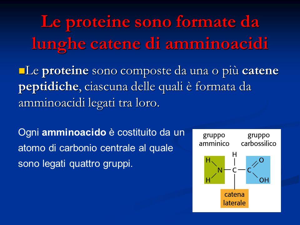 Le proteine sono formate da lunghe catene di amminoacidi Le proteine sono composte da una o più catene peptidiche, ciascuna delle quali è formata da a