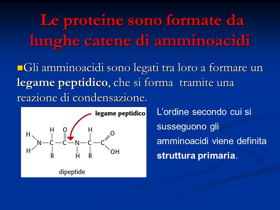 Le proteine sono formate da lunghe catene di amminoacidi Le proteine sono formate da lunghe catene di amminoacidi Gli amminoacidi sono legati tra loro