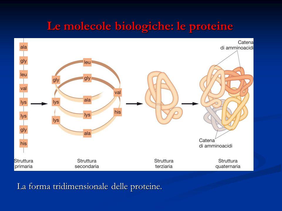 Le molecole biologiche: le proteine Le molecole biologiche: le proteine La forma tridimensionale delle proteine.
