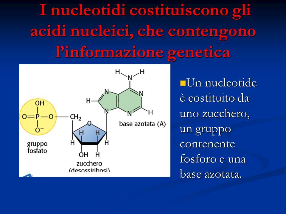 I nucleotidi costituiscono gli acidi nucleici, che contengono linformazione genetica I nucleotidi costituiscono gli acidi nucleici, che contengono lin
