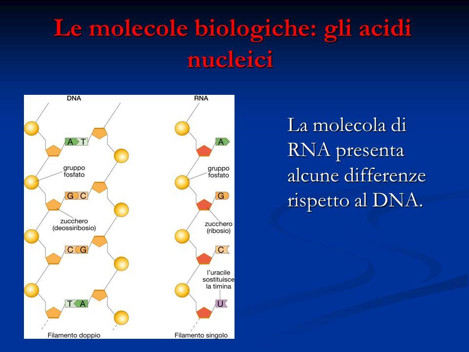 Le molecole biologiche: gli acidi nucleici Le molecole biologiche: gli acidi nucleici La molecola di RNA presenta alcune differenze rispetto al DNA.