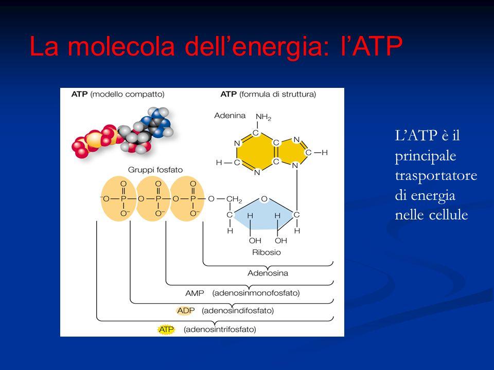 La molecola dellenergia: lATP LATP è il principale trasportatore di energia nelle cellule