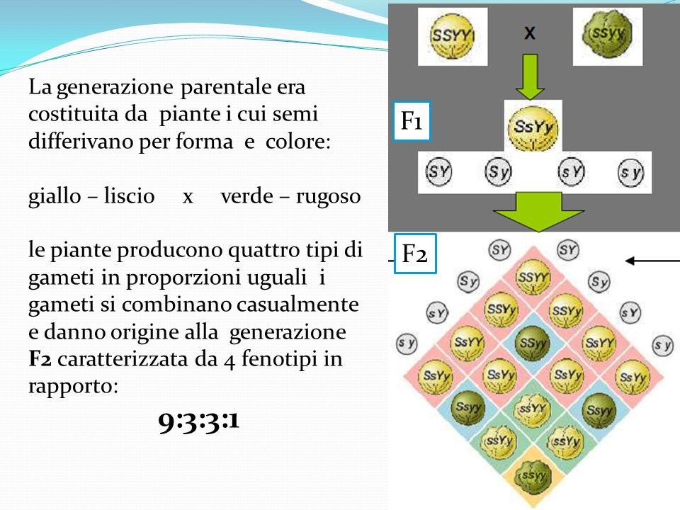 La generazione parentale era costituita da piante i cui semi differivano per forma e colore: giallo – liscio x verde – rugoso le piante producono quat