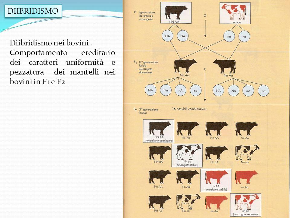 DIIBRIDISMO Diibridismo nei bovini. Comportamento ereditario dei caratteri uniformità e pezzatura dei mantelli nei bovini in F1 e F2