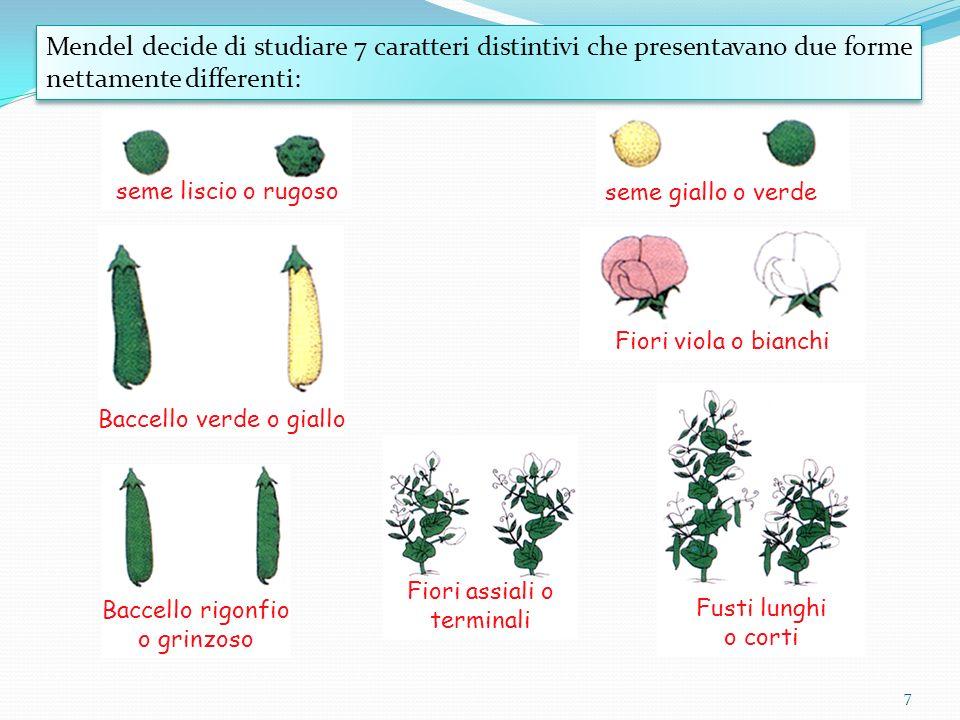 7 Mendel decide di studiare 7 caratteri distintivi che presentavano due forme nettamente differenti: seme liscio o rugoso seme giallo o verde Baccello