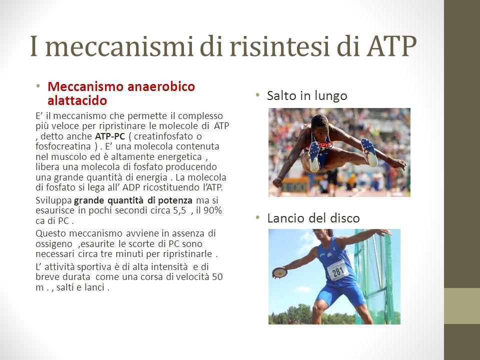 I meccanismi di risintesi di ATP Meccanismo anaerobico alattacido E il meccanismo che permette il complesso più veloce per ripristinare le molecole di