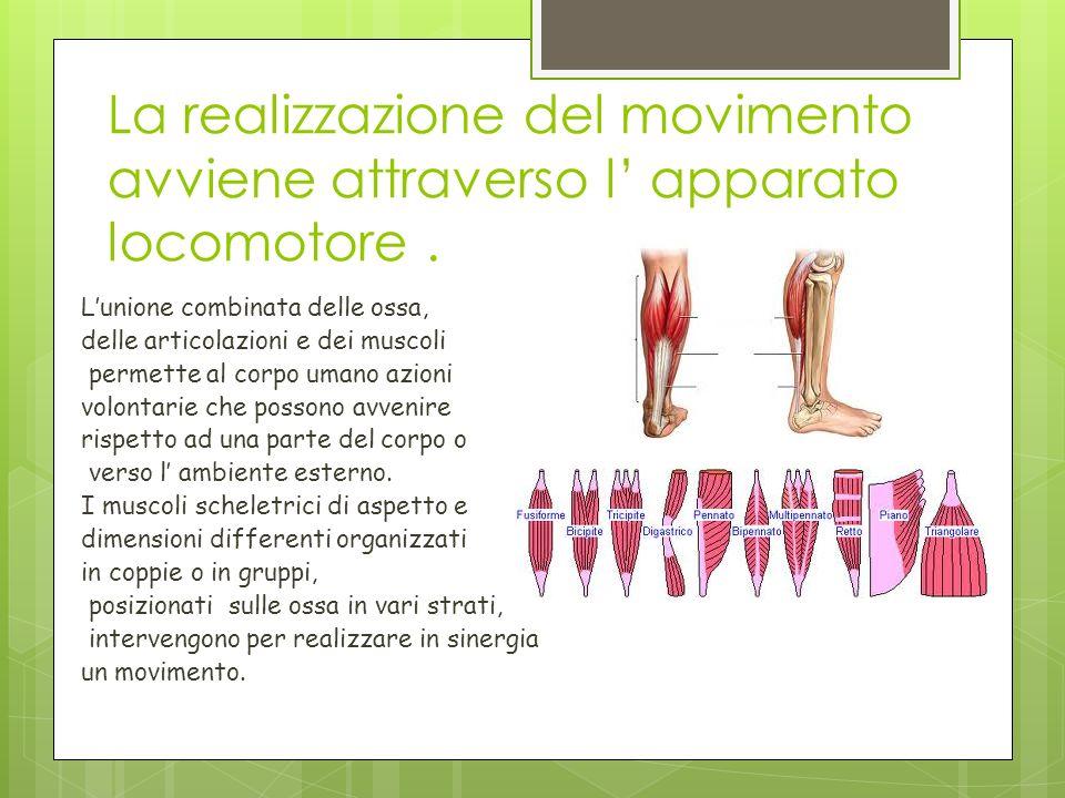 La realizzazione del movimento avviene attraverso l apparato locomotore. Lunione combinata delle ossa, delle articolazioni e dei muscoli permette al c