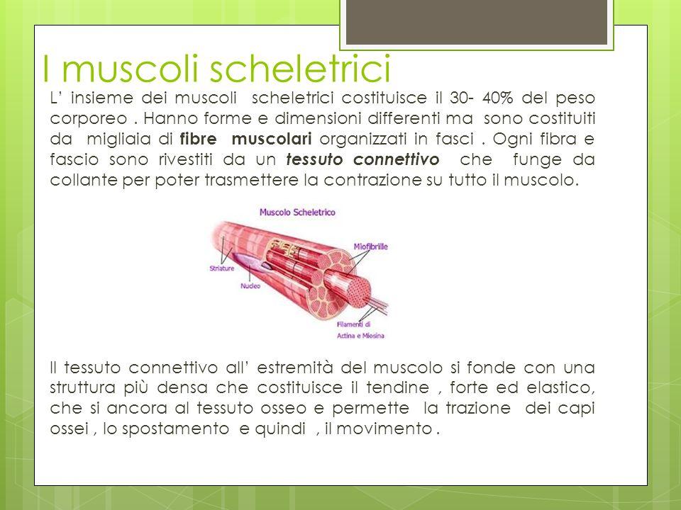 I muscoli scheletrici L insieme dei muscoli scheletrici costituisce il 30- 40% del peso corporeo. Hanno forme e dimensioni differenti ma sono costitui