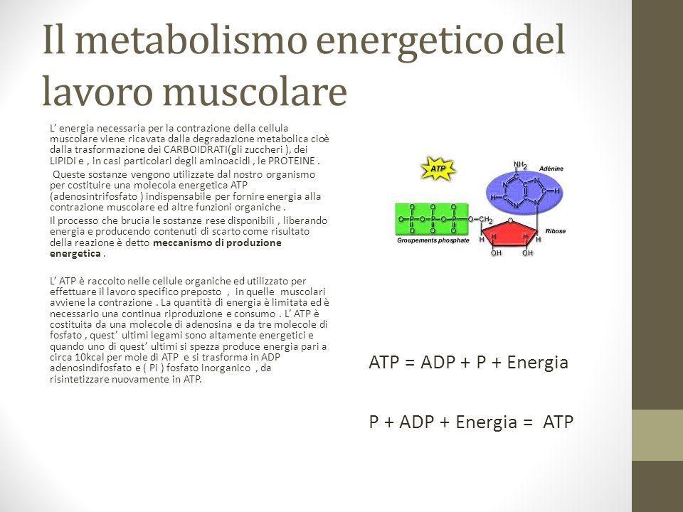 Il metabolismo energetico del lavoro muscolare L energia necessaria per la contrazione della cellula muscolare viene ricavata dalla degradazione metab